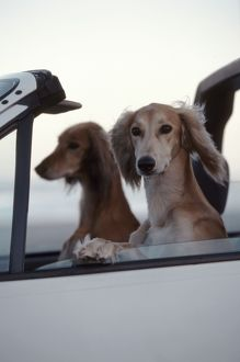 Saluki Dogs in car
