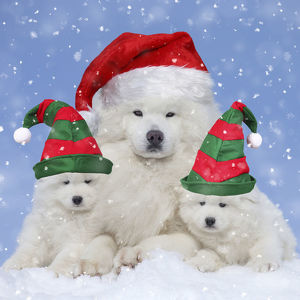 new images august/samoyed dogs nd puppies wearing christmas elf