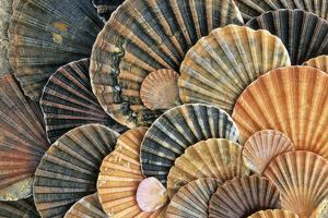 Scallop Shells - detailed arrangement