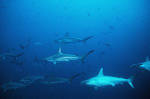 Scalloped Hammerhead Sharks - An amazing sight for a diver to see hundreds of Hammerheads constantly going past.