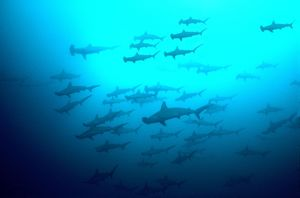 Scalloped Hammerhead Sharks - Looking up to see hundreds of Hammerheads going past. They are not agressive at humans.