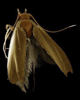 Scanning Electron Micrograph (SEM): Common Clothes Moth