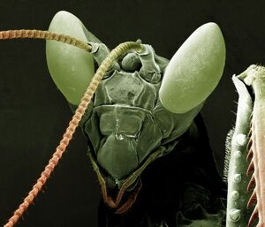 Scanning Electron Micrograph (SEM): Praying Mantis