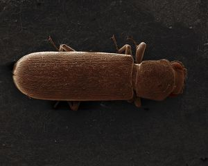 Scanning Electron Micrograph (SEM): Powderpost Beetle