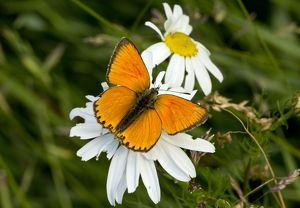 Scarce Copper Butterfly male at 1900m Maritime Alps, France
