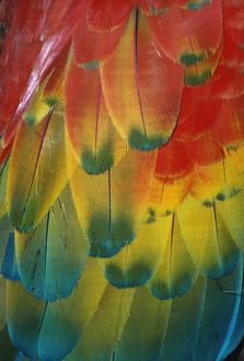 Scarlet Macaw - Feathers