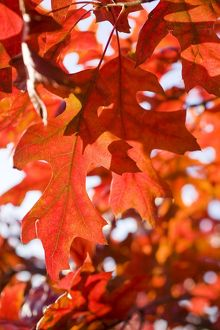 Scarlet Oak Leaves - in autumn colour