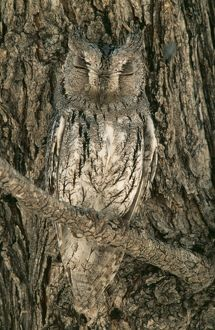 Scops Owl - Perfectly camouflaged perching close to a tree-trunk