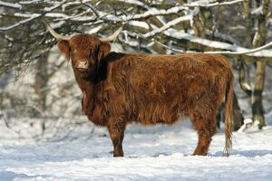 Scottish Highland Cow - in snow
