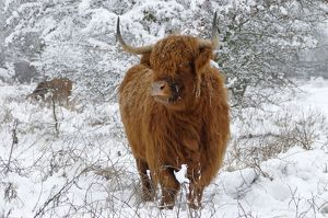Scottish Highland Cow - in the snowy foreland of river IJssel