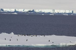 SE-456 Adelie Penguin - On iceberg