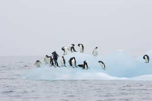 SE-457 Adelie Penguin - On iceberg