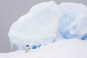 SE-459 Adelie Penguin - On iceberg