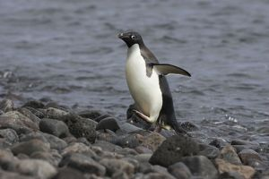 SE-460 Adelie Penguin - Arriving on shore
