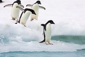 SE-462 Adelie Penguin - On iceberg