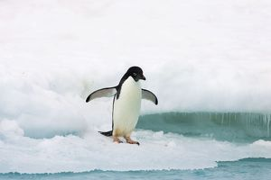 SE-463 Adelie Penguin - on iceberg