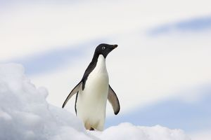 SE-464 Adelie Penguin - On iceberg