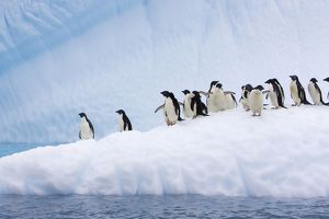 SE-467 Adelie Penguin - On iceberg