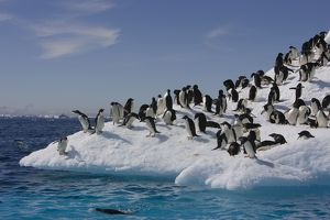 SE-469 Adelie Penguin - On iceberg