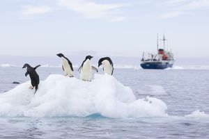 SE-471 Adelie Penguin - On iceberg with cruise ship in background