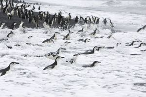 SE-473 Chinstrap Penguin - On shore headed out to sea