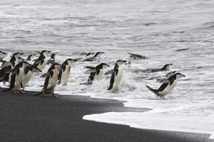 SE-474 Chinstrap Penguin - on shore headed out to sea