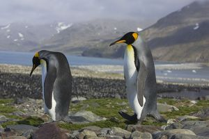 SE-497 King Penguin - Adults on peak above colony
