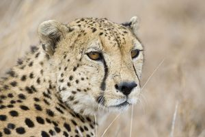 SE-708 Cheetah - Adult male