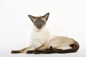 Seal Point Siamese Cat - lying down
