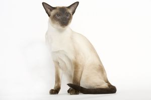 Seal Point Siamese Cat - sitting