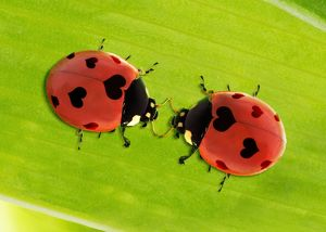 Two seven spot Ladybirds with hearts as spots - love