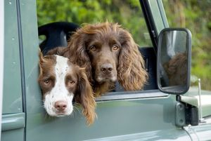 SG-20225 Springer Spaniel Dog - & Field Spaniel looking out of car window.