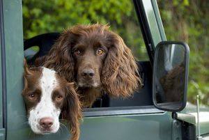 SG-20227 Springer Spaniel Dog - & Field Spaniel looking out of car window.