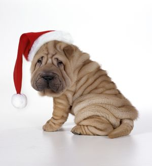 Shar Pei Dog - Puppy sitting down wearing Christmas hat