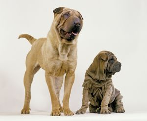 Shar Pei Dogs - Adult and puppy