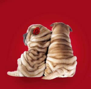Shar Pei Dogs - Rear view of puppies sitting down.