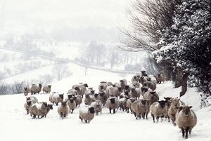 SHEEP - Crossbreds - in snow