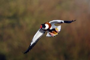 Shelduck - In Flight