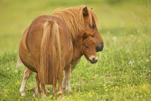 Shetland Pony - adult with foal in field