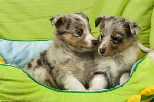 Shetland Sheepdog - two puppies in bed
