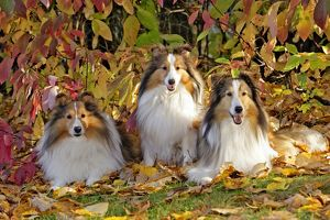 Shetland Sheepdogs, three together by dogwood bushes