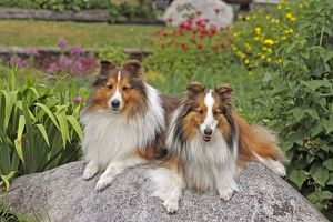 Shetland Sheepdogs - two lying together on rock