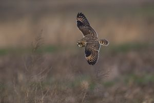 Short-eared Owl hunting over fallow field in winter