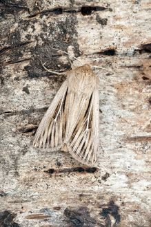 Shoulder-striped Wainscot Moth - On trunk of birch tree