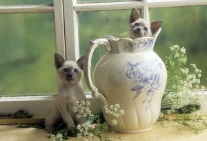 Siamese Cat - two kittens, one in jug