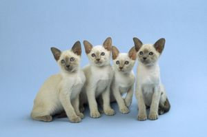 Siamese Cat - kittens sitting in a row
