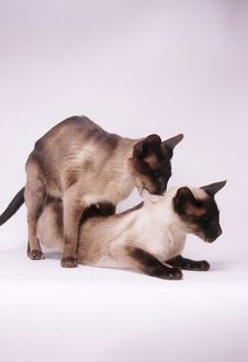 Siamese cats - mating