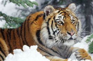 Siberian / Amur TIGER - close-up
