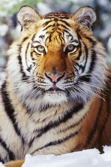 Siberian / Amur TIGER - close-up, showing facial markings