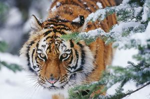 Siberian / Amur TIGER - close-up of face